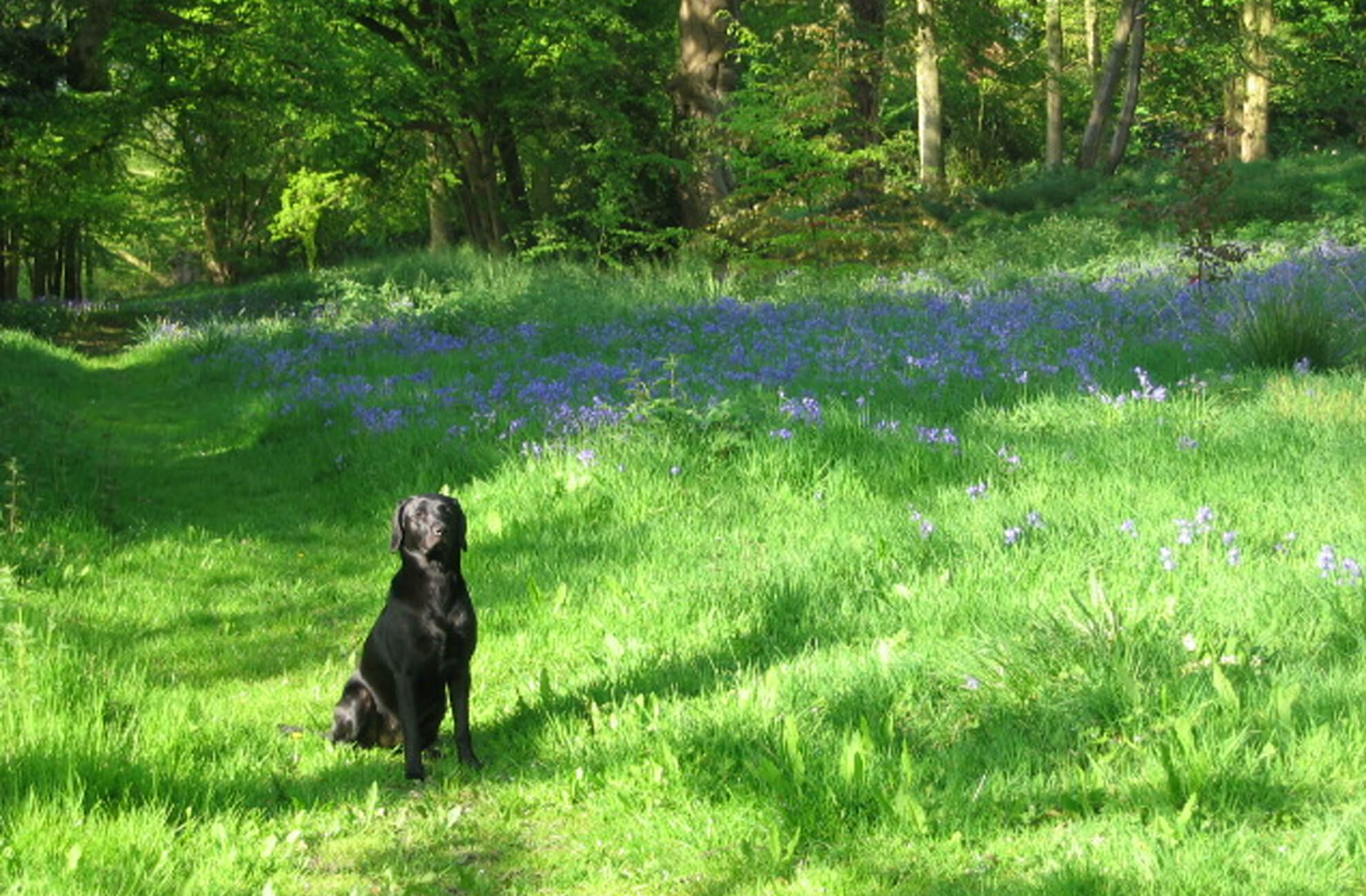 A gorgeous black Labrador sits patiently amongst the bluebells at Combermere Abbey