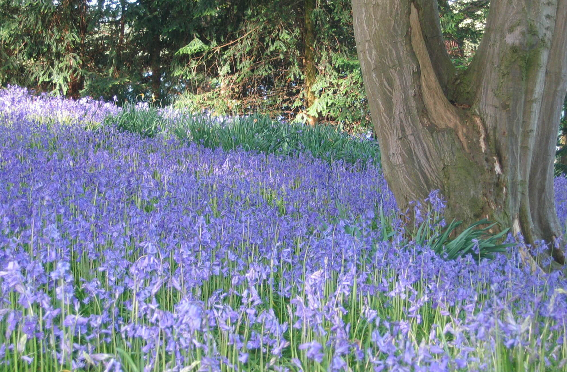 The woodland floor at Combermere Abbey is covered in a beautiful carpet of bluebells