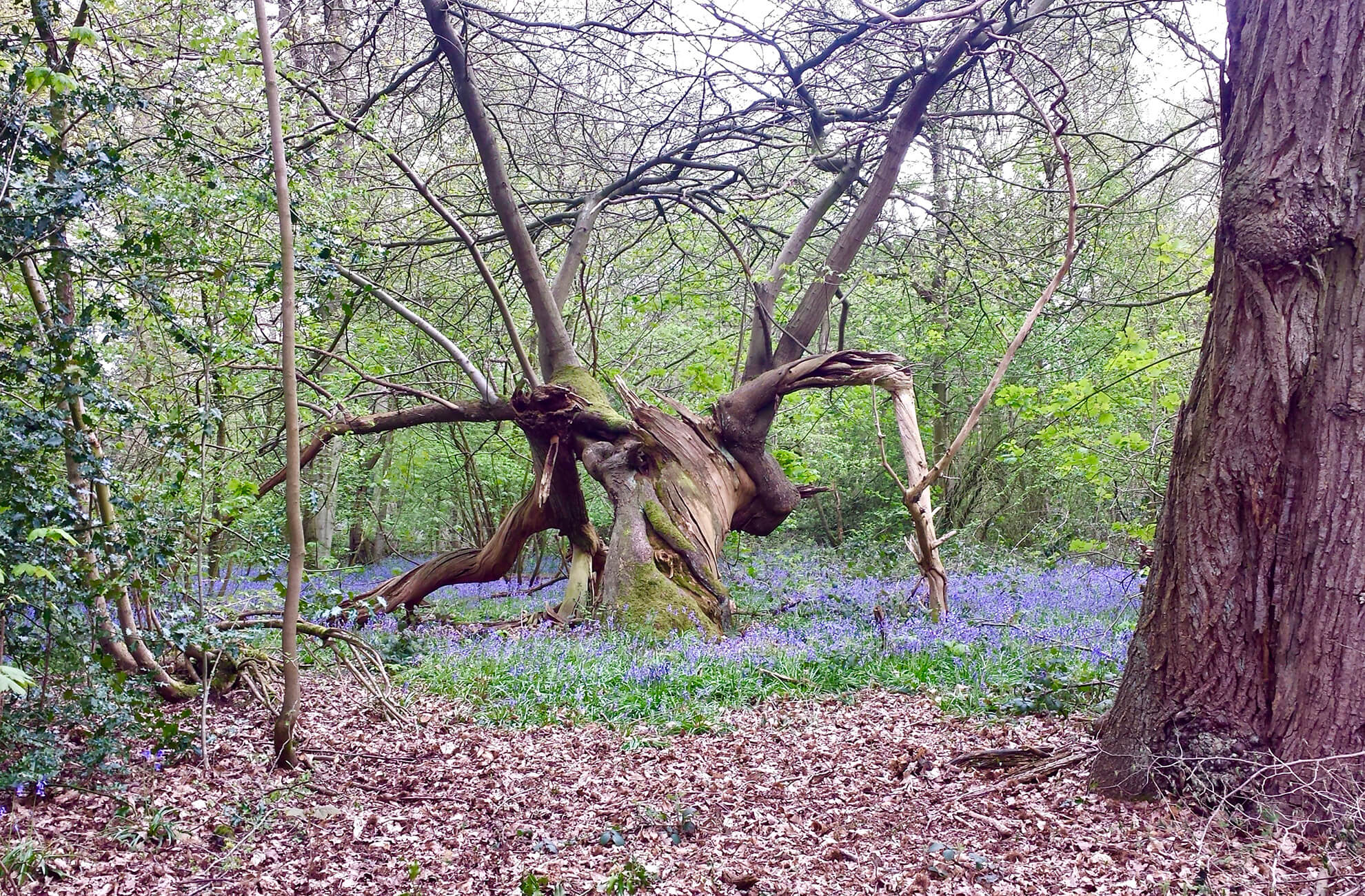 A carpet of stunning bluebells covers the floor in the woodlands at Combermere Abbey