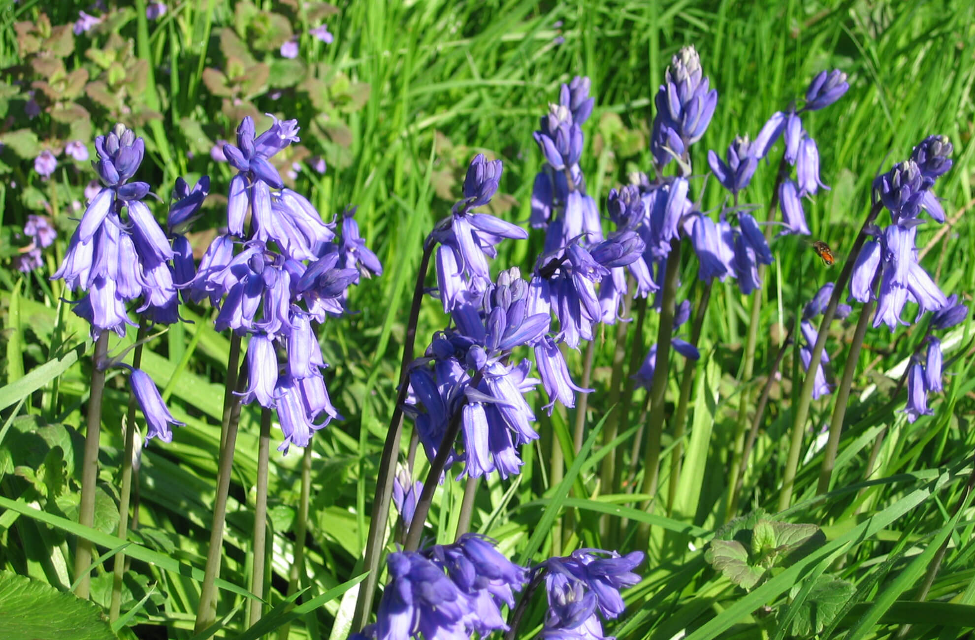 A close up of beautiful bluebells glistening in the sunshine at Combermere Abbey in Cheshire