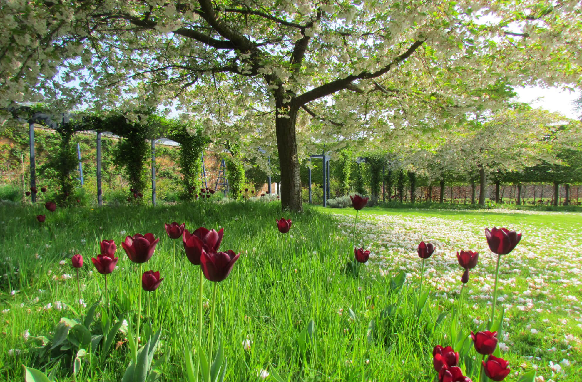 Tulips and cherry trees look beautiful in the walled gardens at Combermere Abbey