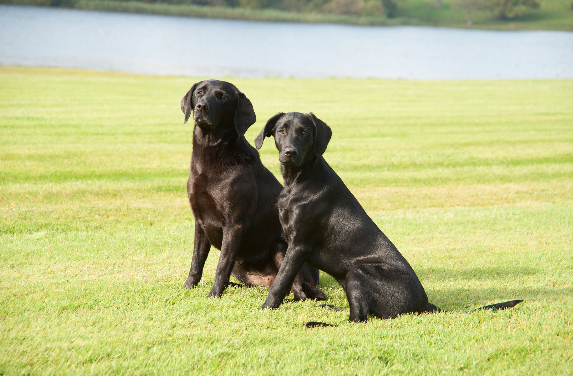 Zola and Zansie the black labradors had a fantastic day during National Dog Day at Comebermere Abbey