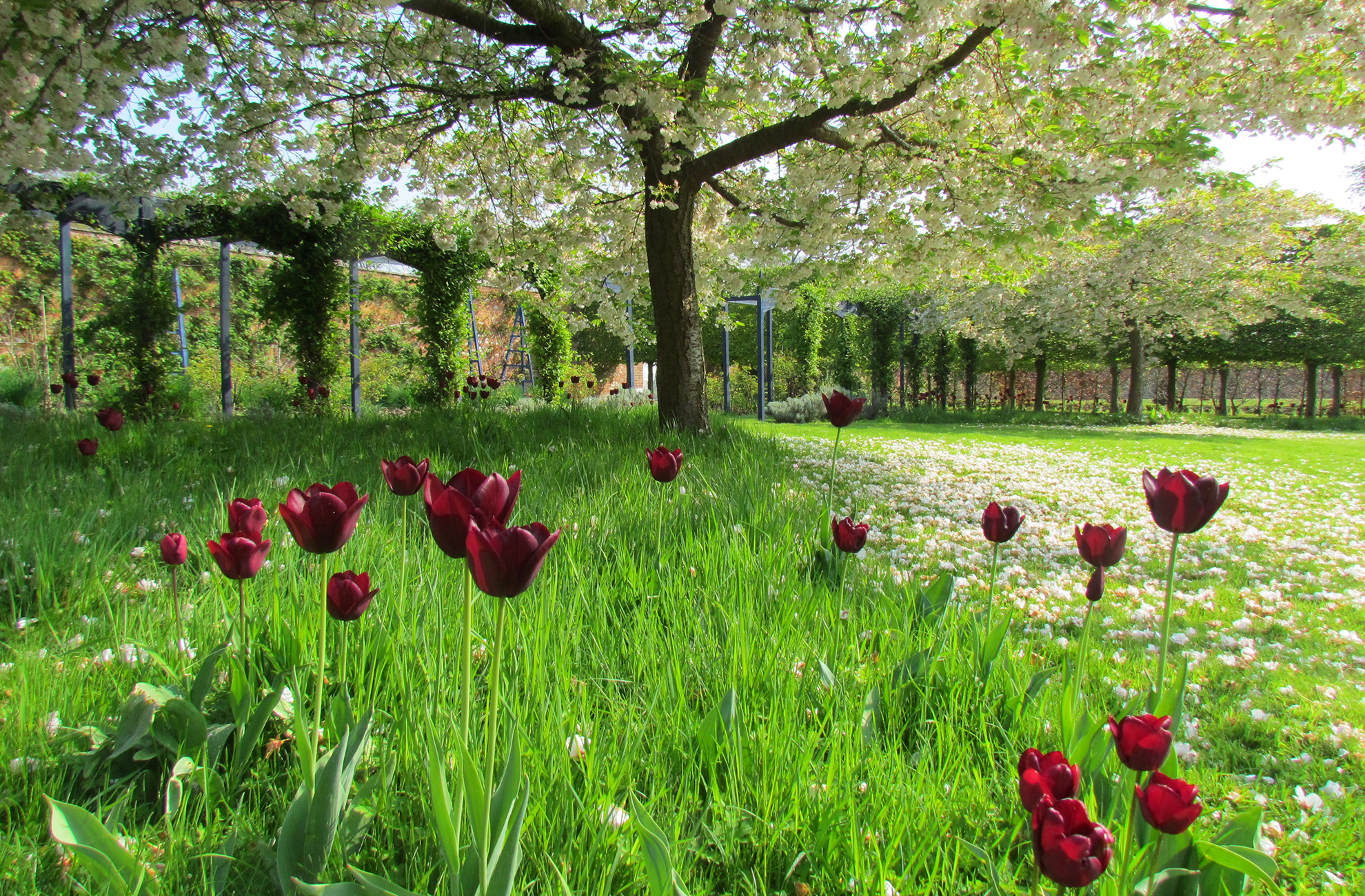 : In the spring cherry blossoms and tulips look beautiful in the gardens at Combermere Abbey