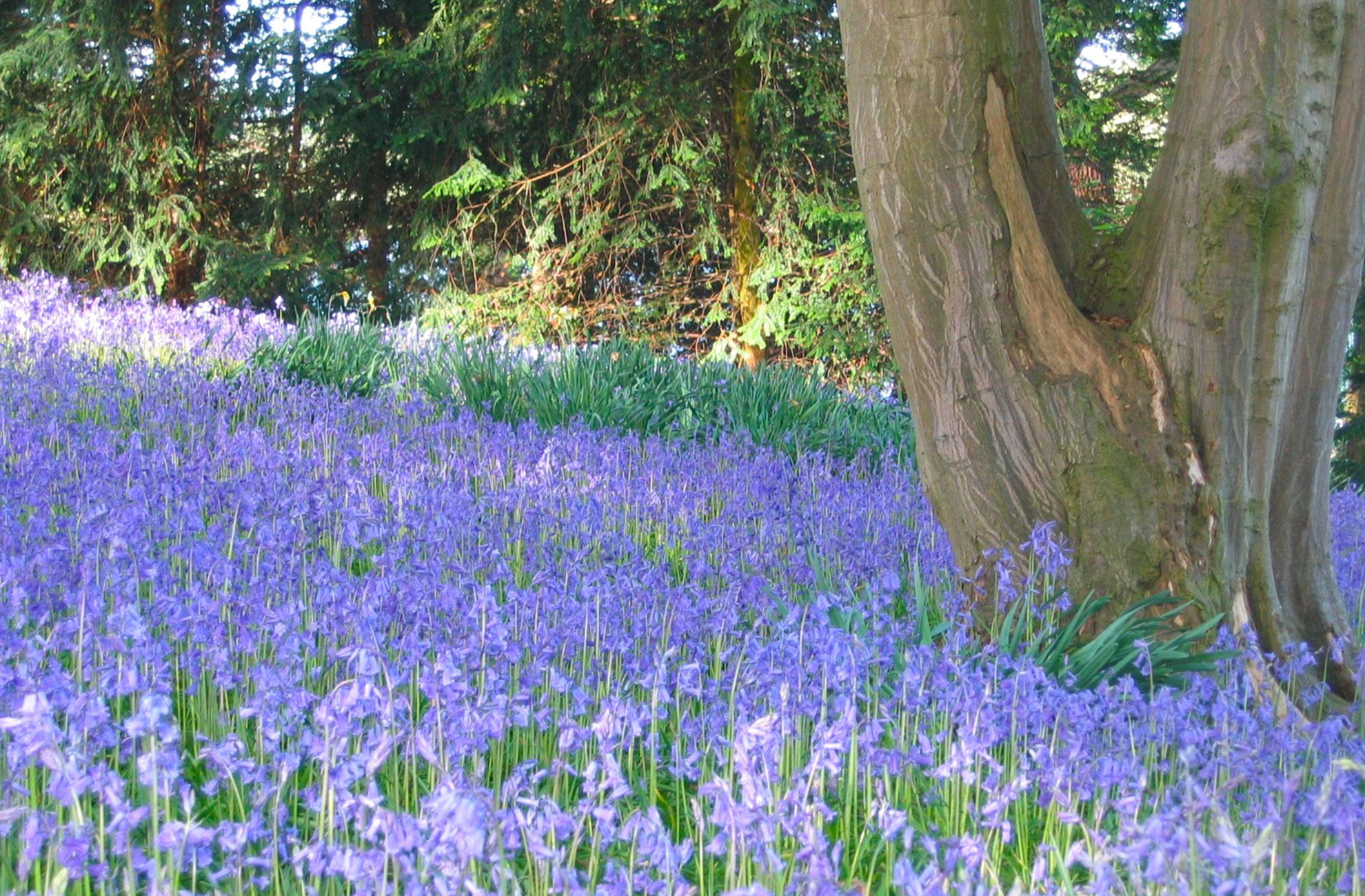 The woodland floor at Combermere Abbey is a carpeted with bluebells